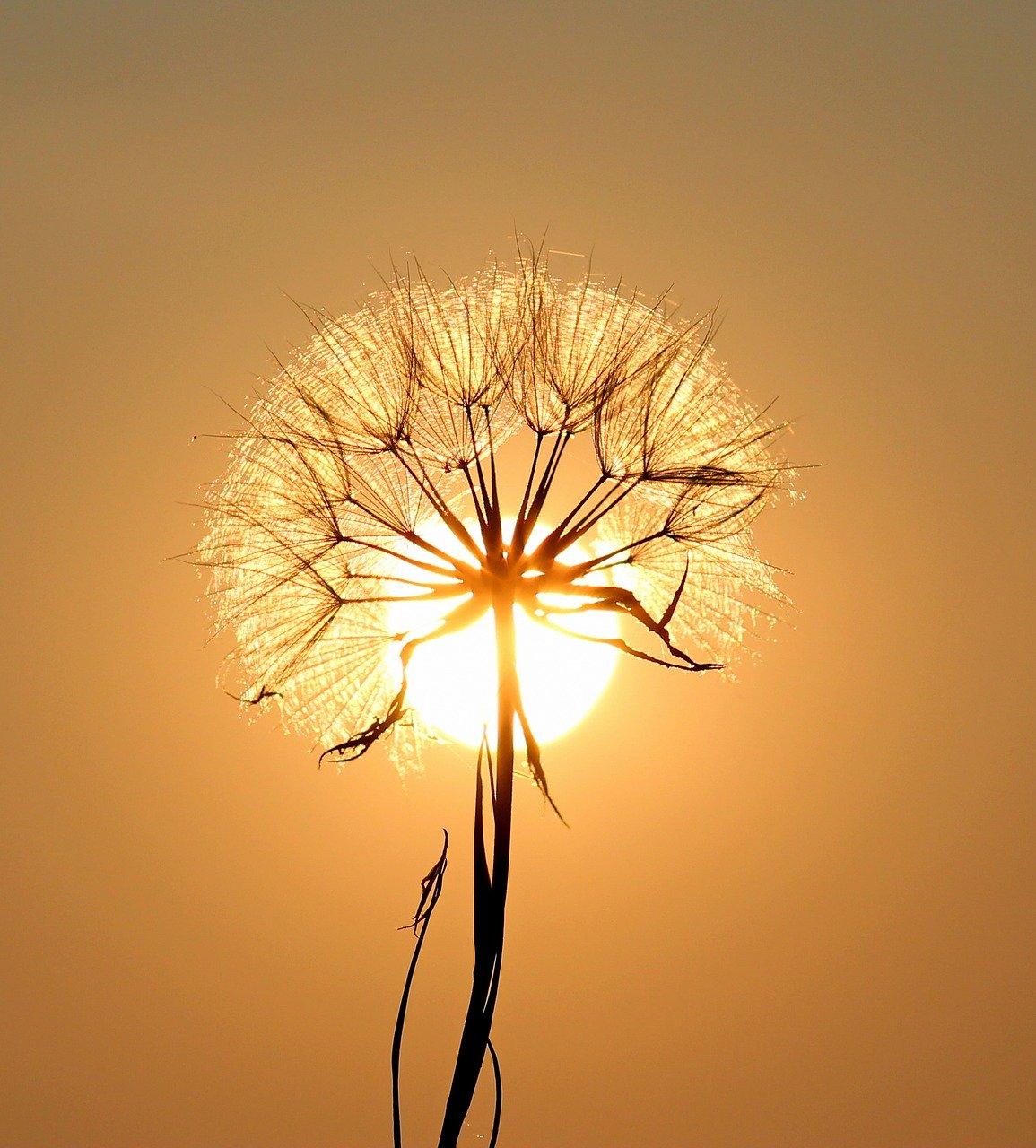 dandelion, sun, plants